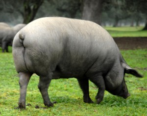cerdo ibérico de bellota