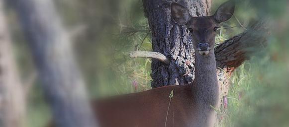 Jabalí, corzo, ciervo, cordornices.