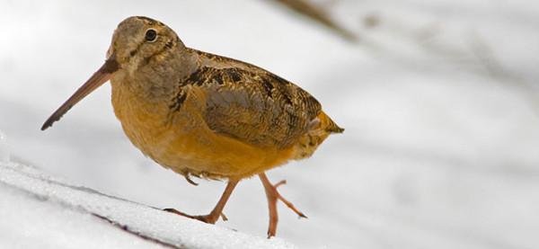 Becada, la excelencia entre las aves de caza