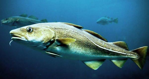 Bacalao fresco noruego