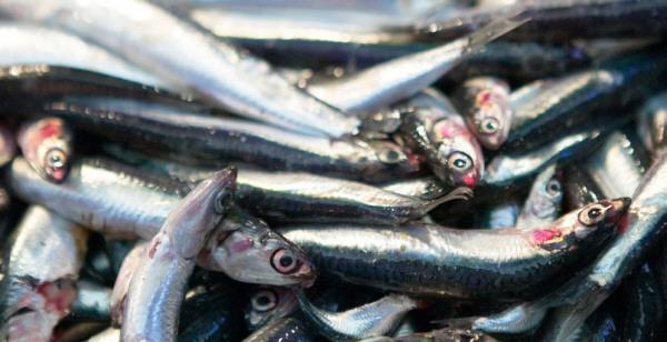 Boquerón, anchoa o bocarte, el pequeño de los pescados azules