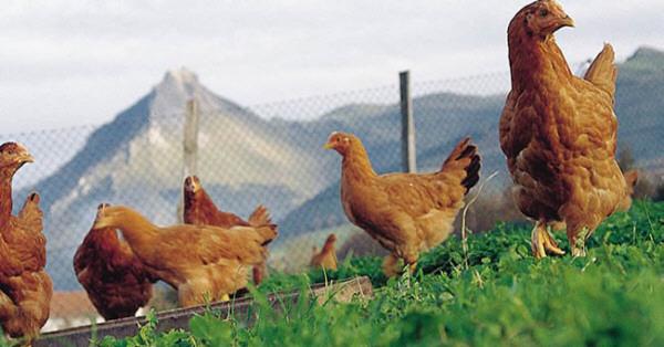 Pollo de caserio