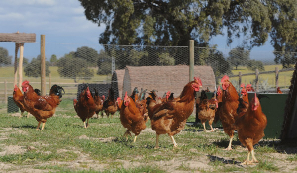 Pollos camperos Dehesa El Milagro
