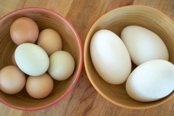 Huevos de oca y gallina